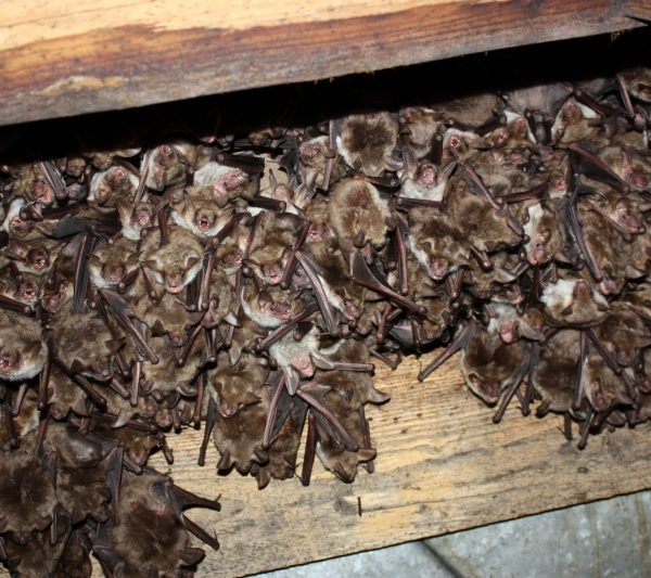 Colonie-de-liliac-comun-mic.Kozonseges-hegyesorru-deneverkolonia.Lesser-mouse-eared-bat-colony-03
