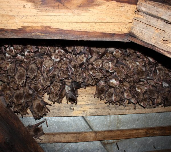 Colonie-de-liliac-comun-mic.Kozonseges-hegyesorru-deneverkolonia.Lesser-mouse-eared-bat-colony-04