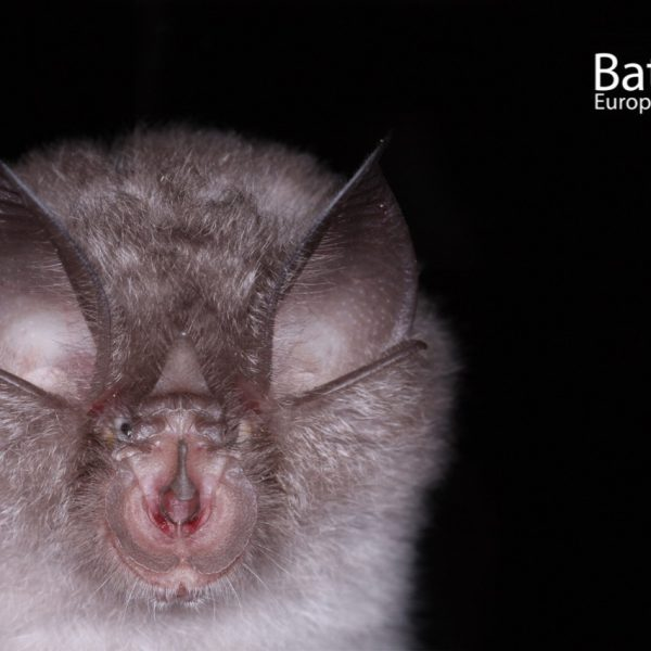 Lesser horseshoe bat 1 c F. Szodoray-Paradi