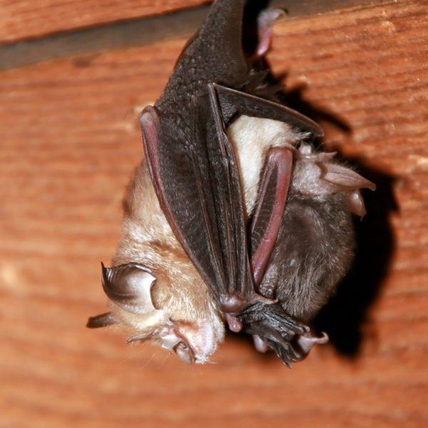 Lesser horseshoe bat 2 c F. Szodoray-Paradi