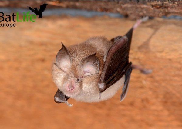 Lesser horseshoe bat c W. Forstmeier 2